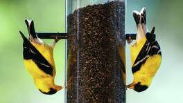 A pair of American Goldfinches (Cardualis tristis) hang upside-down in Annandale, Va., Friday, July 6, 2007, as they feed on thistle seeds from a bird feeder. The feeder is designed to keep other birds that can't hang upside-down to eat elsewhere. (AP Photo/Ron Edmonds)