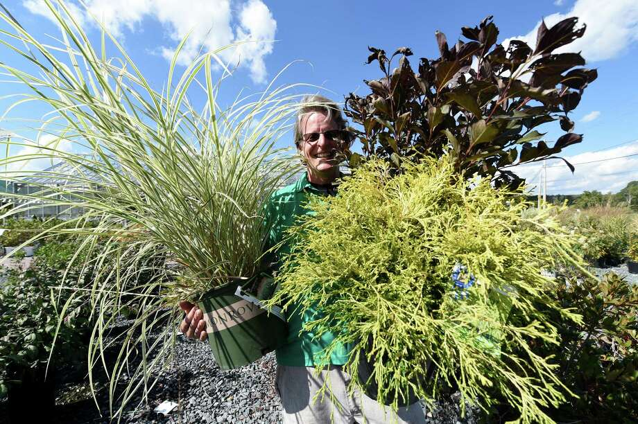 Andy Moat holds armloads of sustainable vegetation at George's Market and Nursery Tuesday Sept. 27 2016 in Latham, N.Y. The plants from left to right;  Variegated Japanese Silver Grass, gold thread cypress and Wine and roses.  (Skip Dickstein/Times Union) Photo: SKIP DICKSTEIN / 40038175A