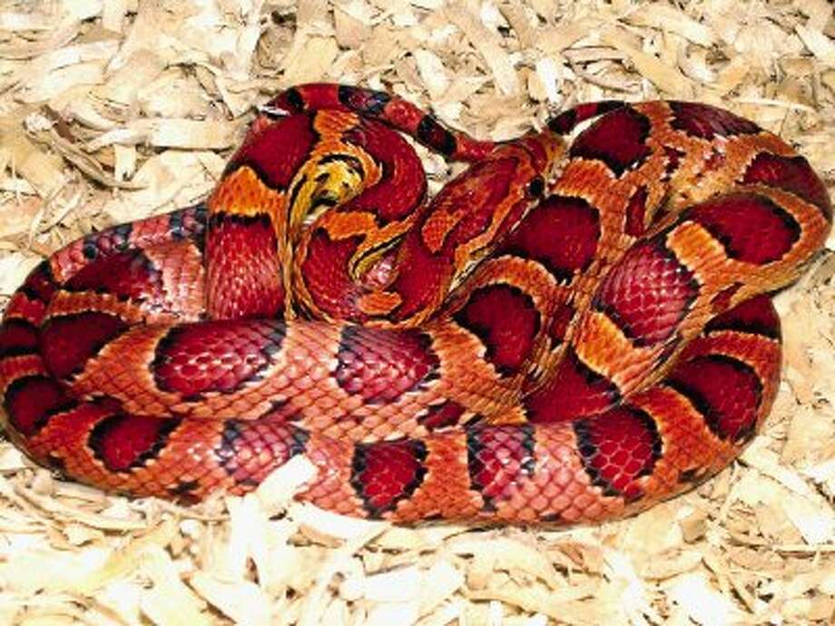 The attractive corn snake is one of the most popular pet snakes.