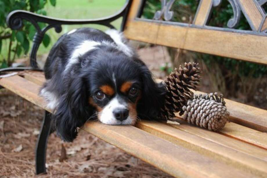 Image of: Airlines Kingwood Resident Michal Mccormicks Cavalier King Charles Spaniel Lacey Died Several Weeks Ago After Kingwood Residents King Charles Spaniel Dies After Ingesting