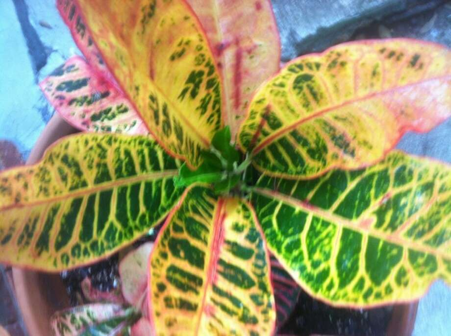 Croton color varies from dark green to various shades of red and yellow.