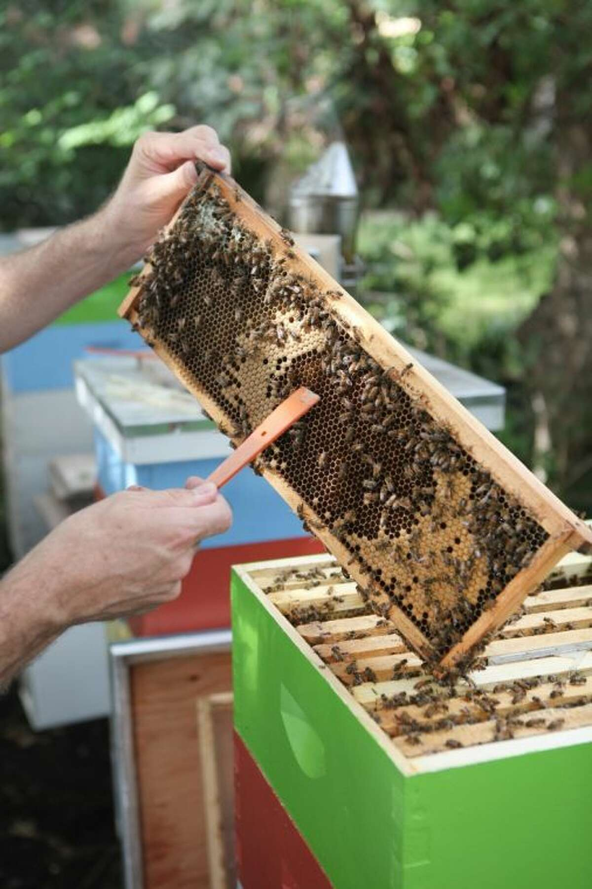 Mark Anderson checks on his honey bees in Bellaire. The wax-covered cells contain honey that has reached the right moisture content and have been capped by the bees.