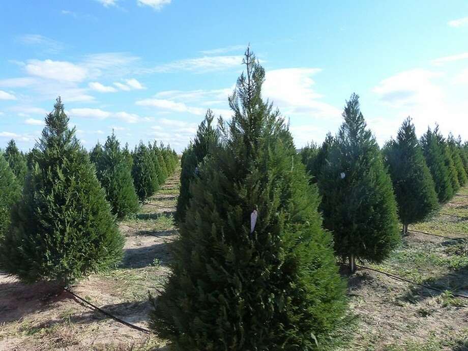The varieties of Christmas trees for sale this year are Leyland Cypress,  Murray Cypress, - Cut Your Own Christmas Tree At Dewberry Farm - Houston Chronicle