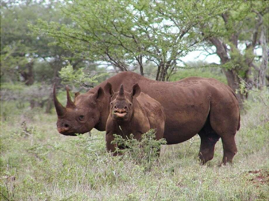 This Jan. 5, 2003, photo released by U.S. Fish and Wildlife Service shows a black rhino male and calf in Mkuze, South Africa.