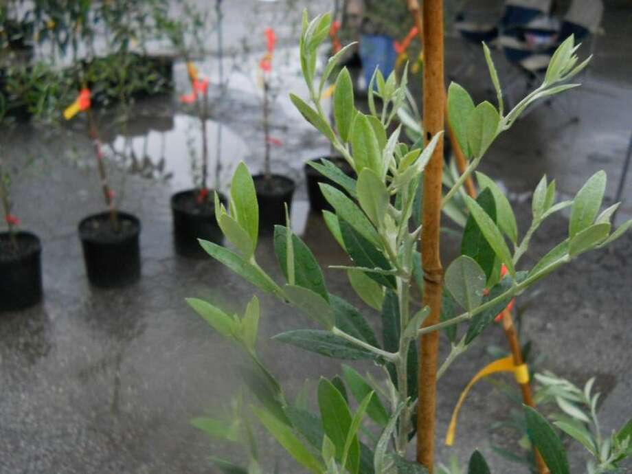 Learn how to graft citrus trees at the Brazoria County Master Gardeners seminar.