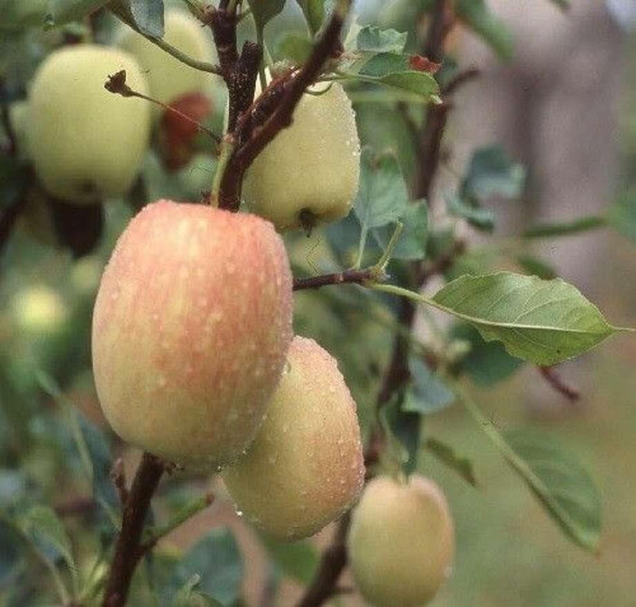 The Anna Apple tree has a low chill requirement which enables the tree to thrive in warmer climates that occur along the Texas Gulf Coast.