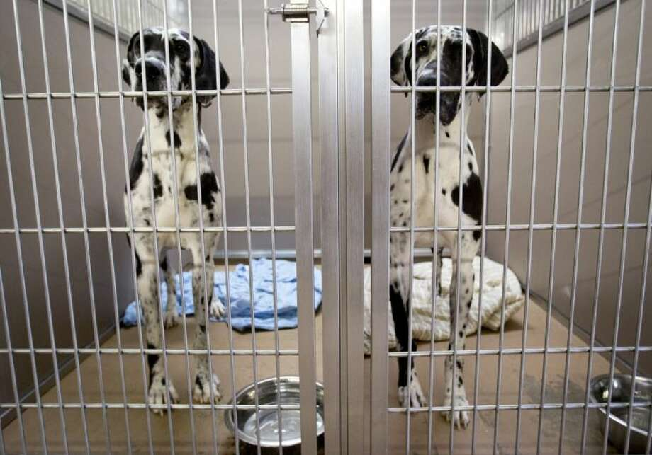Two of the Great Danes confiscated in an animal cruelty case in Parker County wait for their dinner on Thursday.