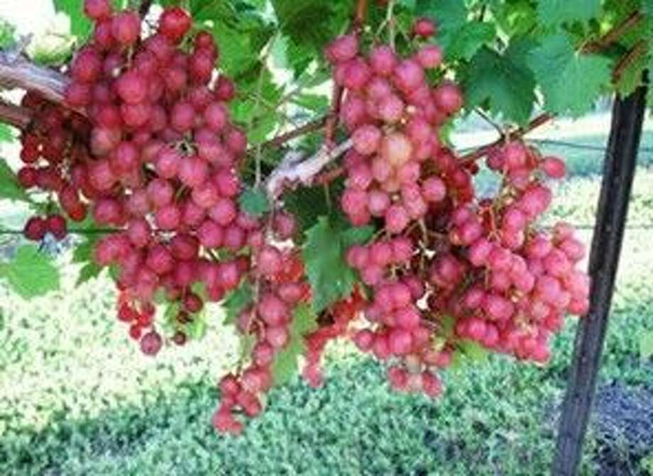 Victoria Red is a recent joint release by the University of Arkansas, Tarkington Vineyards and Texas AgriLife Extension Service. Victoria Red is a disease tolerant, seeded table grape that produces good yields of high quality attractive fruit.