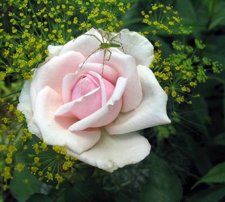 Dating from 1888, Marie Pavie displays sweetly-shaped, pale pink buds that unfold to creamy white, semi-double flowers of delicious fragrance. Photo: Picasa 2.7
