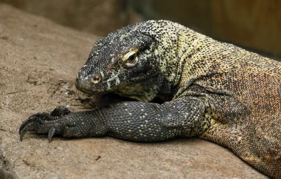 In a Wednesday photo, Diablo, a 3 1/2-year-old Komodo Dragon, keeps an eye on visitors to his enclosure as he lounges on a warming rock in the Rainforest Pyramid at Moody Gardens in Galveston.