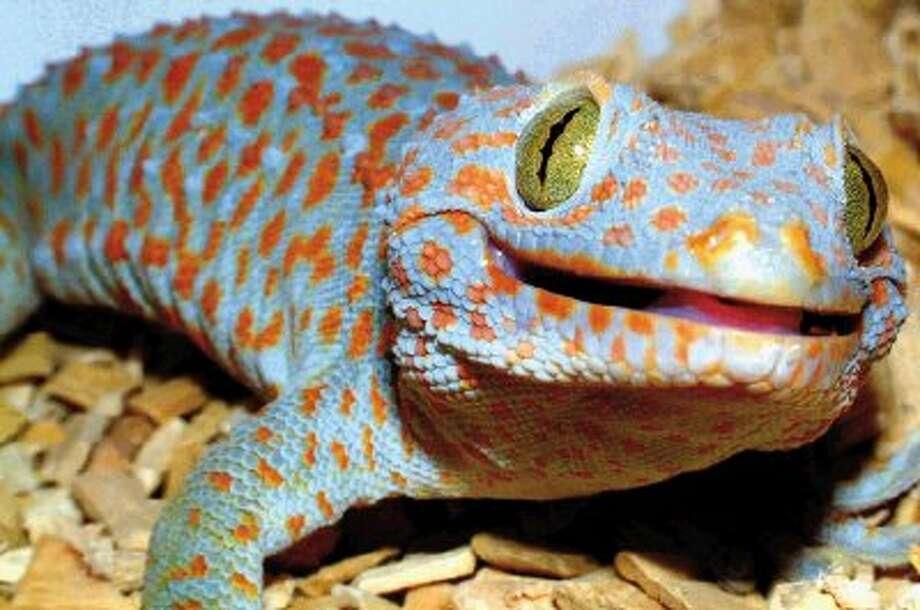 A Tokay Gecko.