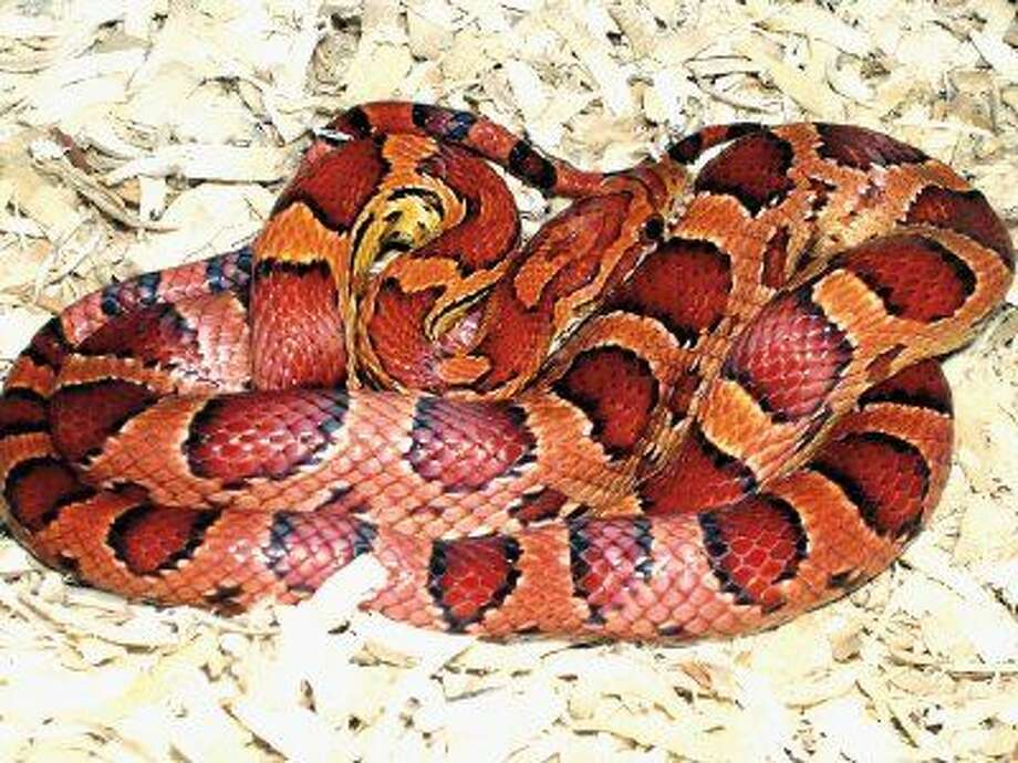Corn snakes will be among the many reptile species on view at Repticon Houston.