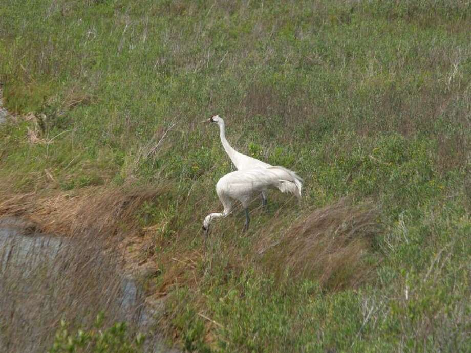 These whooping cranes are an unforgettable sight, but to see them you need to get down there fairly soon.