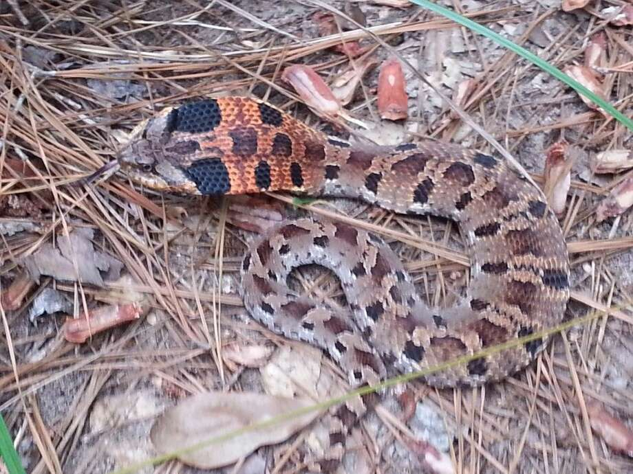 This hog nose snake can look threatening when it spreads its neck like a cobra, but are harmless to man and they are protected by law.