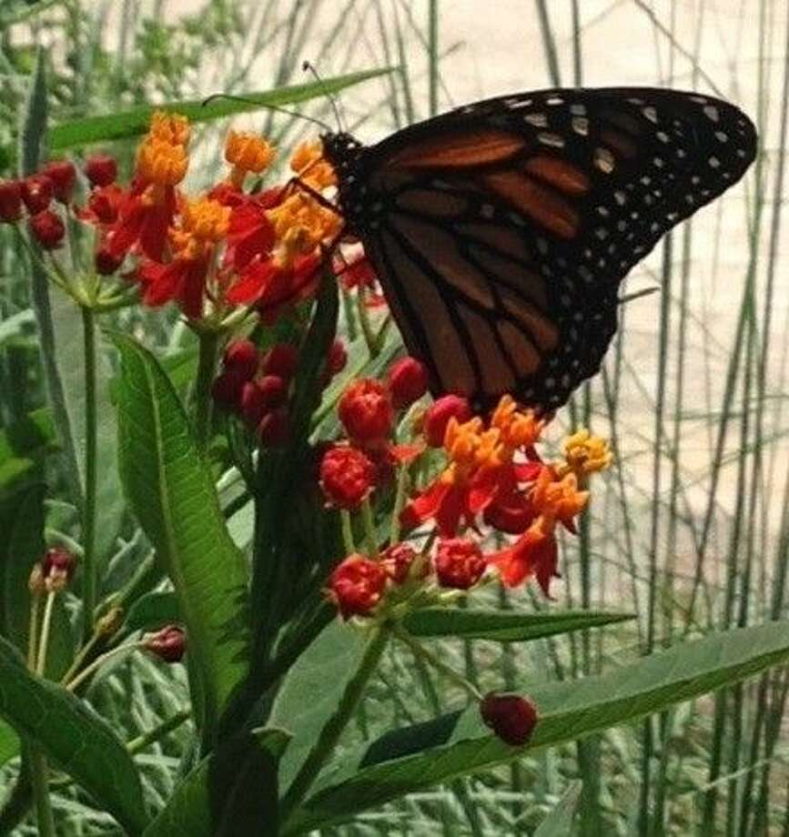 Tropical Milkweed (Asclepias currasivica) is a perennial favorite of the Monarch butterfly, grows best in full sun to part shade and has orange and yellow flowers. Although a nectar plant for many butterfly species, it is a larval host plant for the Monarch butterfly.