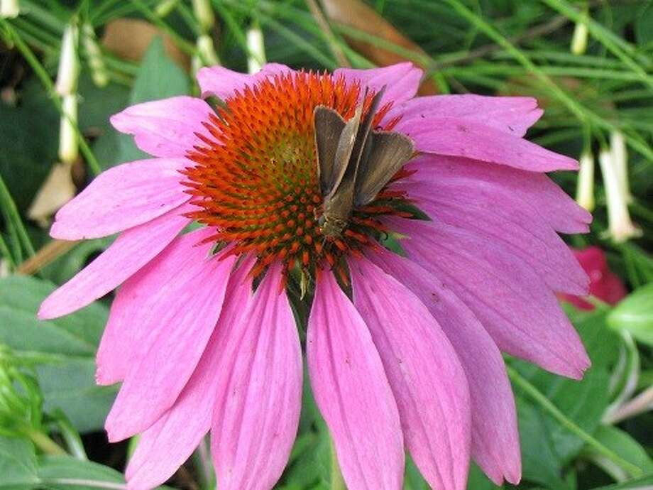 Purple Coneflowers attract butterflies, beneficial insects and hummingbirds.