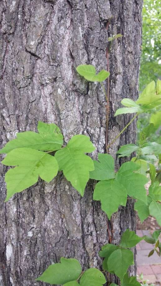 When doing your spring gardening chores, watch out for poison ivy in your yard.