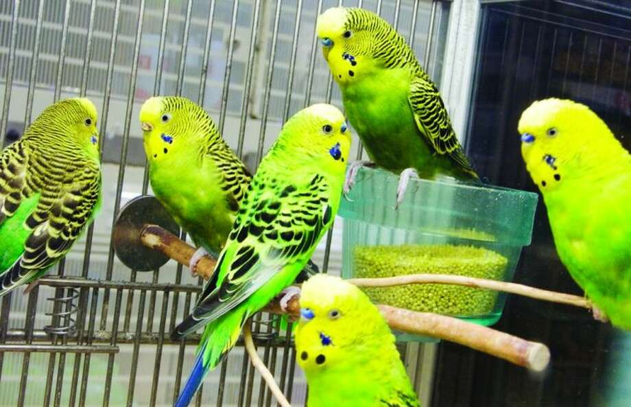 Parakeets are very social animals and require daily attention. They are enjoyed by adults and children for their voice and beauty.