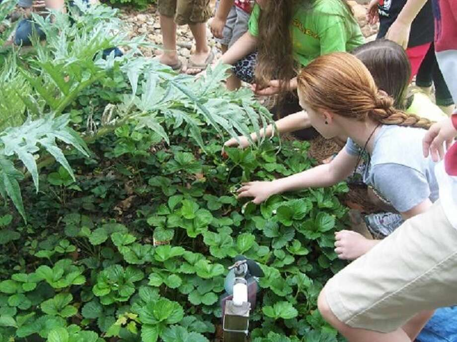 A group of children are exploring the strawberry patch at the DG.