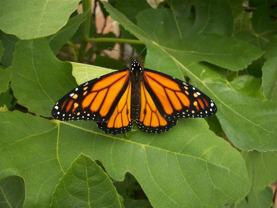 The monarch butterfly only plants its eggs on the milkweed plant. The city of Conroe will be planting more seeds in the parks in a conservation effort. Photo: Submitted Photo