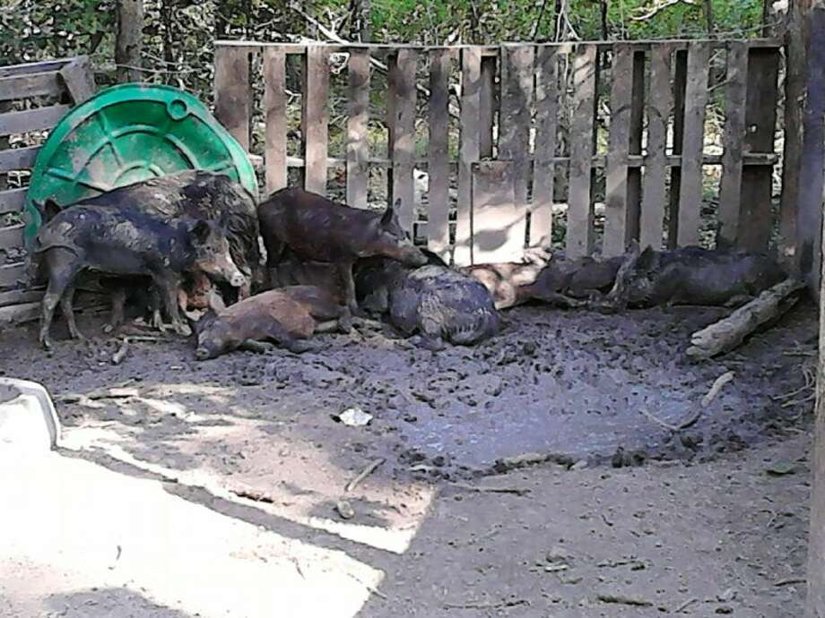 In this photo sent by Kings Point resident Joe Baehl, it shows nine hogs that Geraldo Garcia, a contracted trapper through KSA, caught over a three-day period in late August.