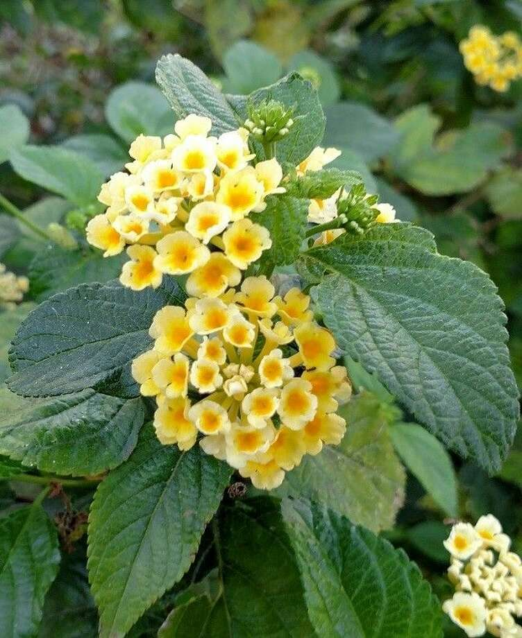 """New Gold"" Lantana x hybrida is a Texas Superstar plant, needs full sun and is great for containers and rock gardens."