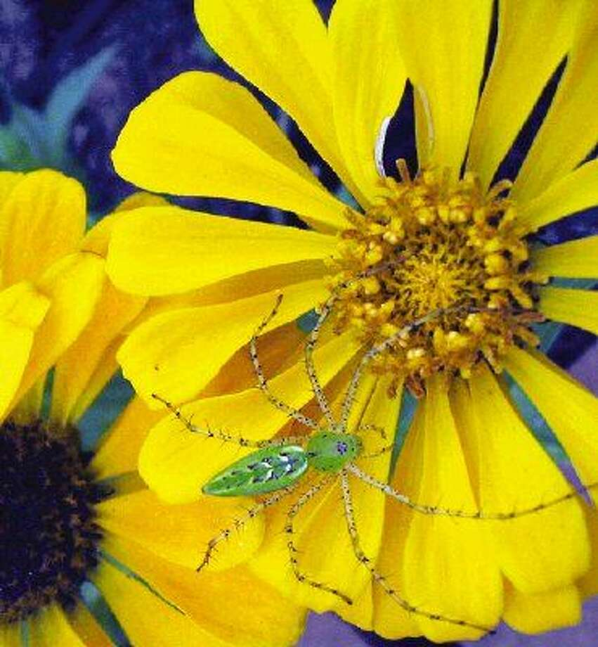 A spider on a yellow zinnia.