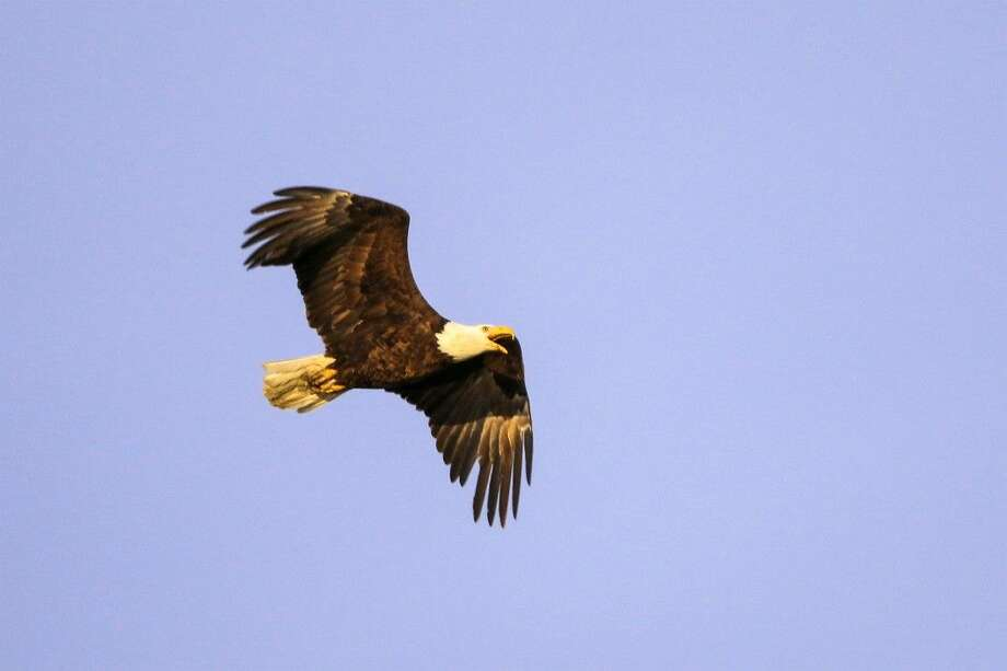 An eagle flies over the John Bunker Sands Wetland Center on April 4 in Seagoville. Photo: Smiley N. Pool