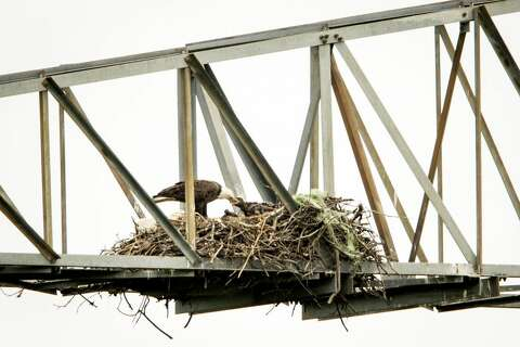 Utility Provides New Aerie For East Texas Bald Eagles The Courier