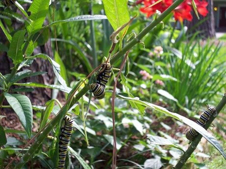 Monarch caterpillars feeding on Tropical Milkweed.
