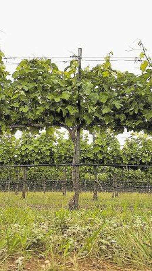 The Texas Hill Country Vineyards are exploding with small bunches of grapes and an abundance of vine leaves to help the grapes matures into grapes suitable for making outstanding Texas Wines. This photo is from Fall Creek Vineyards.