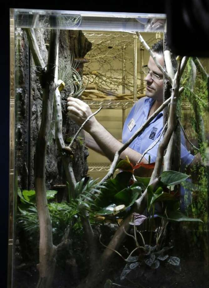 Children's Zoo curator Kevin Hodge checks on a bug in an exhibit at the Houston Zoo's new bug house Friday in Houston. The Bug House, opening this weekend, has 30 species of native and exotic insects on display.