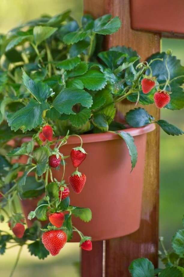 Strawberries in a pot.