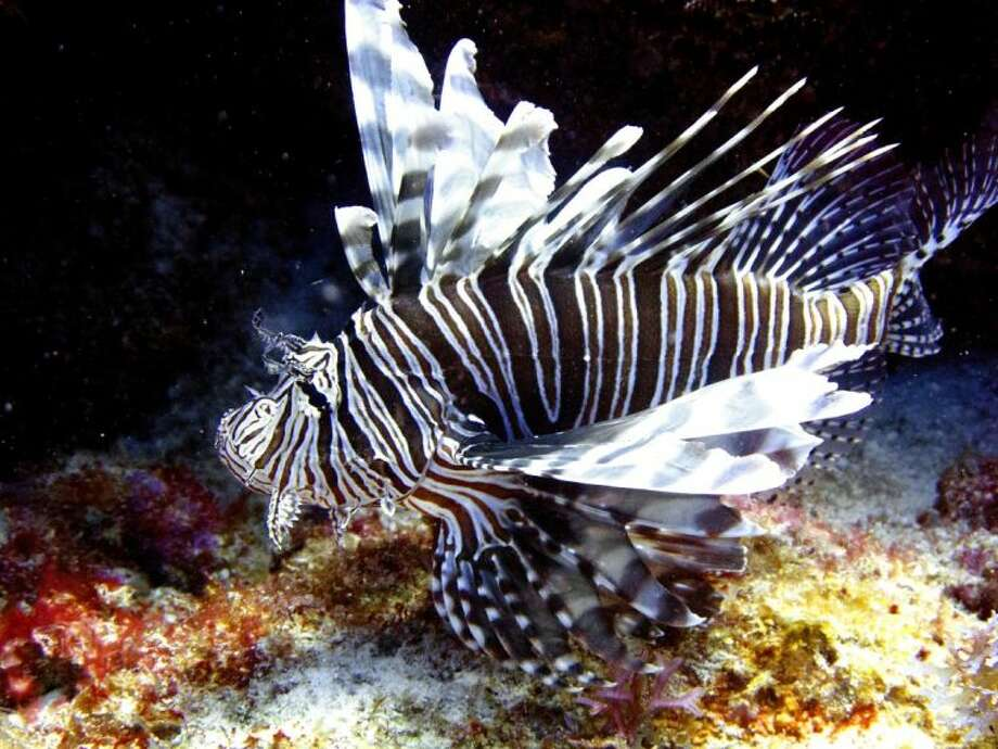 In this May 22, 2012 file photo, a lionfish swims near coral off the Caribbean island of Bonaire. The effort to turn lionfish into a menu item appears to be working but the demand seems to be outpacing the supply. Lionfish are difficult to catch and must be individually speared. Photo: David J. Phillip