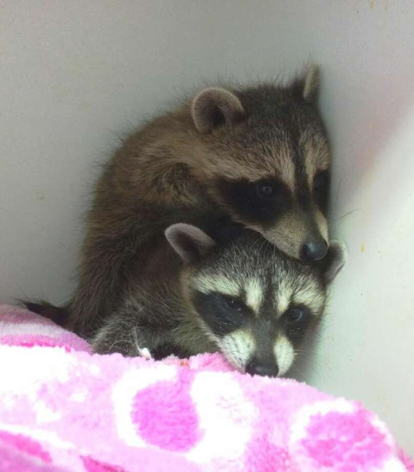 These two baby raccoons are among the ones volunteers at the Friends of Texas Wildlife have taken in due to flooded areas in the county.