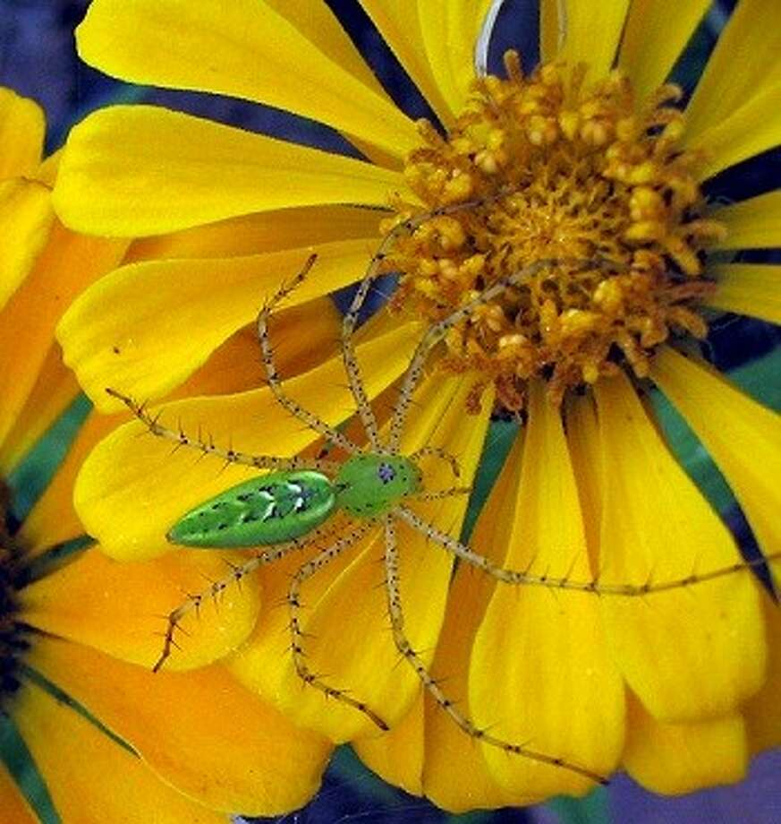 Annual Zinnia will attract butterflies and beneficial creatures like this spider. Photo: Picasa