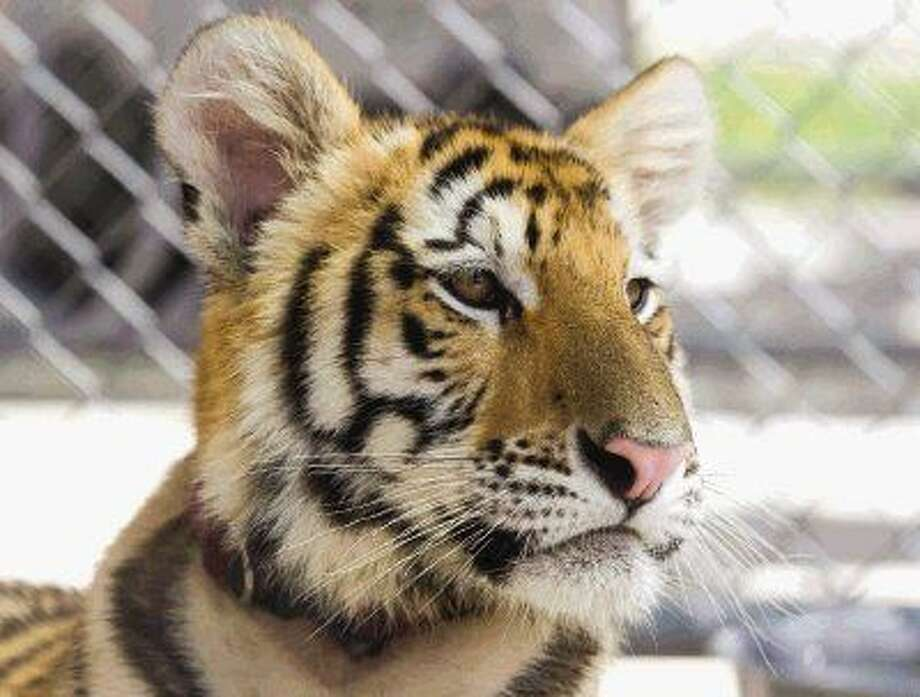 A young female tiger was found wandering through a neighbor off League Line Road around noon Thursday. A judge will ultimately determine the fate of the animal. Photo: Jason Fochtman