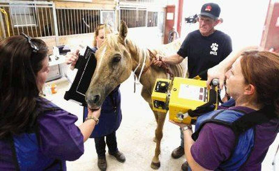 A horse taken from Premium Star horse ranch in Conroe is examined by volunteers and veterinarians at the SPCA Houston office Friday. Photo: Jason Fochtman