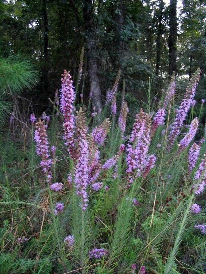 Gayfeather (Liatris pycnostachya) is a native perennial that blooms from July to September. It attracts butterflies.