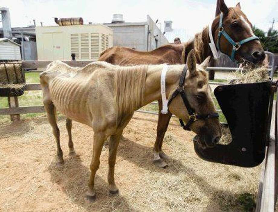 Horses taken from Premium Star horse ranch eat hay at the SPCA Houston office last week.
