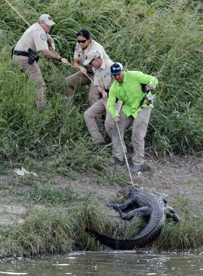 Licensed nuisance alligator hunter Chris Stevens, game wardens and Tarrant Regional Water District employees catch a 10-foot alligator in the Trinity River east of downtown Fort Worth Thursday. Photo: Rodger Mallison