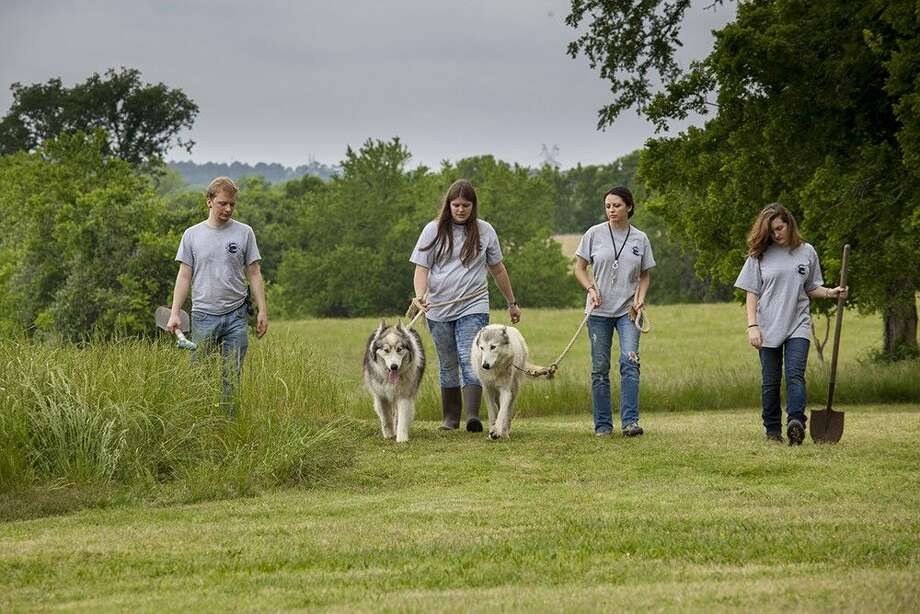 Volunteers at the St. Francis Wolf Sanctuary in Montgomery take two of the wolves out for a walk.
