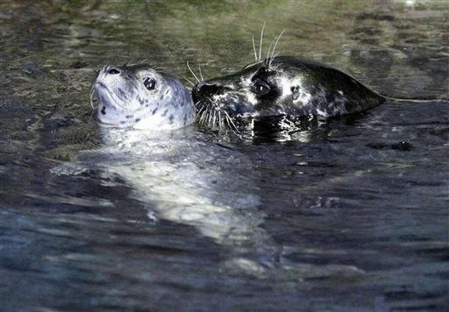Experts say the female harbor seal named Presley has died at Moody Gardens in Galveston. The Galveston County Daily News reported Saturday, Presley, one of two harbor seals at the aquarium, apparently had stomach trouble. Photo: Kevin M. Cox