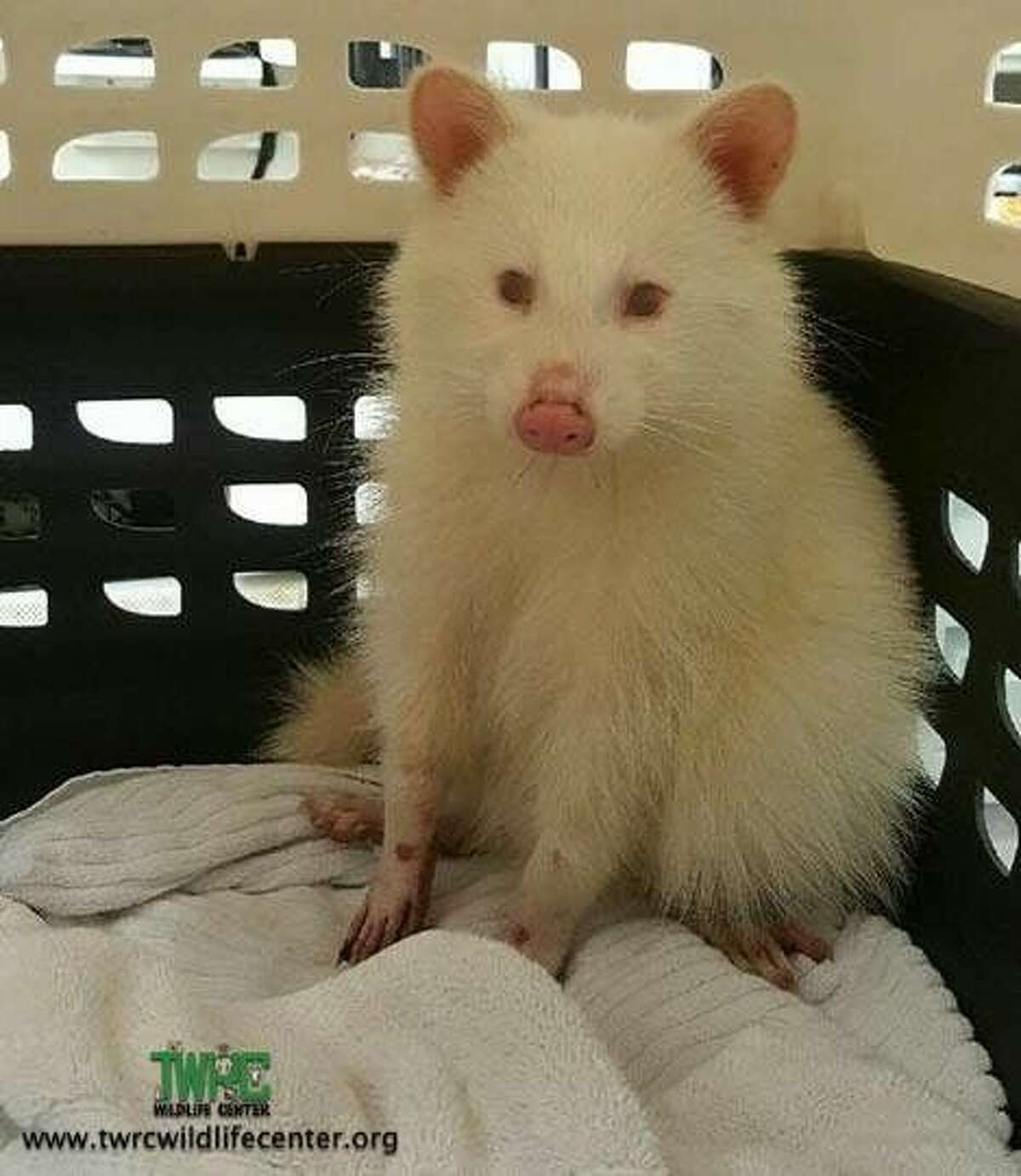 Texas Wildlife Rehabilitation Coalition Wildlife Center received a rare albino raccoon in December. The animal is so rare, the chances of spotting one in the wild are less than those of being struck by lightning. It's now in the care of Friends of Texas Wildlife.