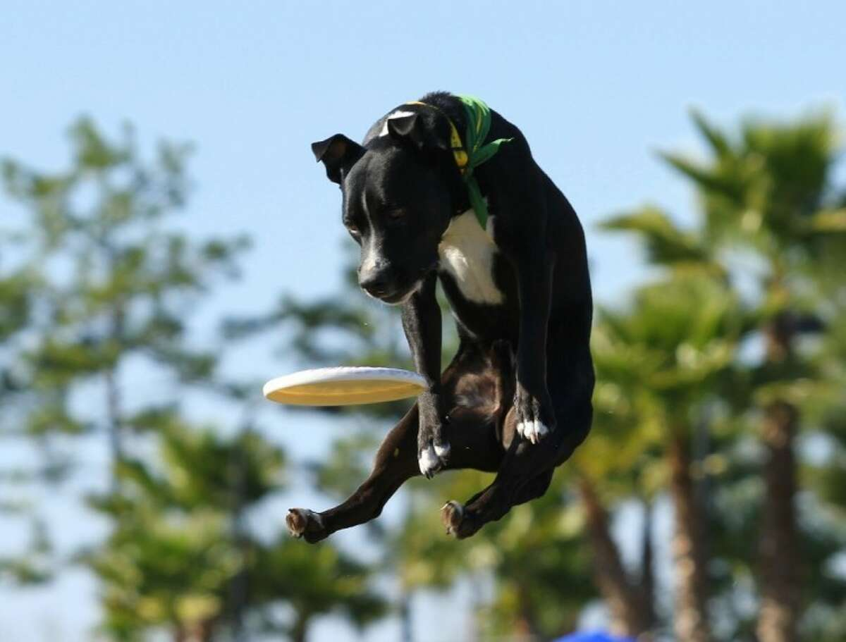 The Houston Canine Frisbee Disc Dogs will perform at this year's Kingwood Barkfest Nov. 2 in Kingwood Town Center.