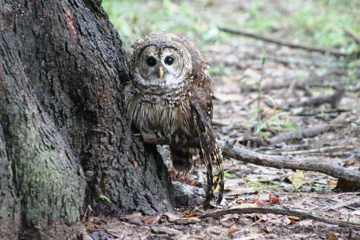 A barred owl sits helpless for animal rescuers to arrive at a home on FM 1010 between Cleveland and Plum Grove. The bird, found at the Snuff Ridge Ranch of Cookie McKee on Thursday, Oct. 31, may be a casualty of the bad weather that came through the area Wednesday night.