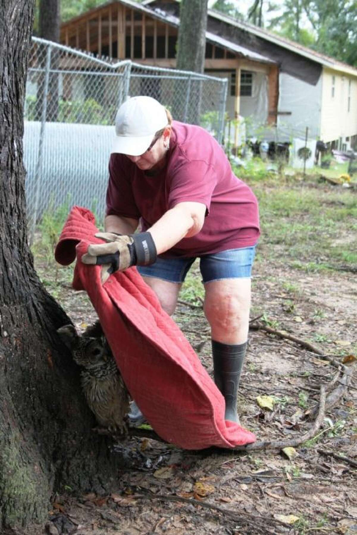 Susan Kalich of Huffman uses a blanket to subdue a barred owl that was found at the Cleveland area home of Cookie McKee on Thursday, Oct. 31. The owl appears to have a broken wing.