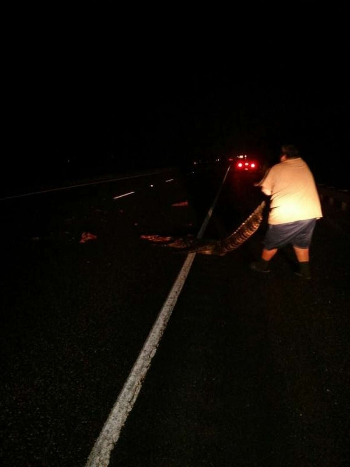 An alligator, estimated to have been around 12 feet long, is removed from US 59 south of Cleveland at the San Jacinto River Bridge. A Toyota Tundra driven by Michael Groh of Splendora struck and killed the alligator Wednesday night, Oct. 30. Groh pulled the reptile from the road to prevent problems for other motorists.
