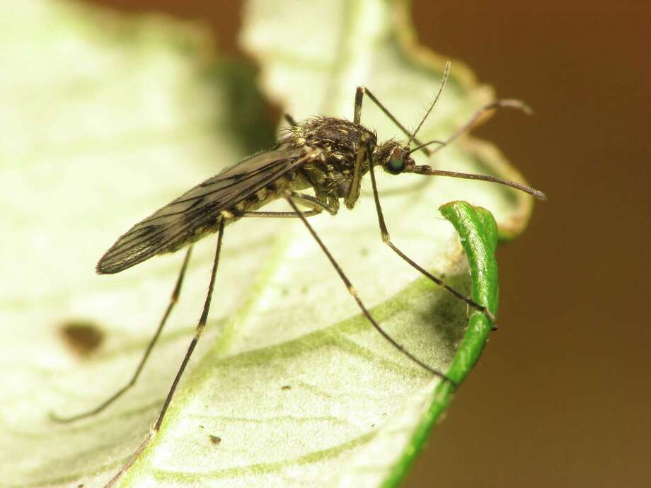 West Nile virus cases have been confirmed around San Antonio and Bexar County. Photo: File Photo