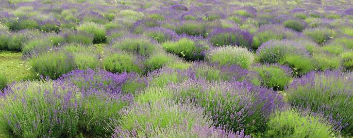 Lavender grows in naturally rounded shapes, but when the blooms die, it will need to be pruned.